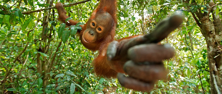 Orangutan-pointing-at-palm-oil-free